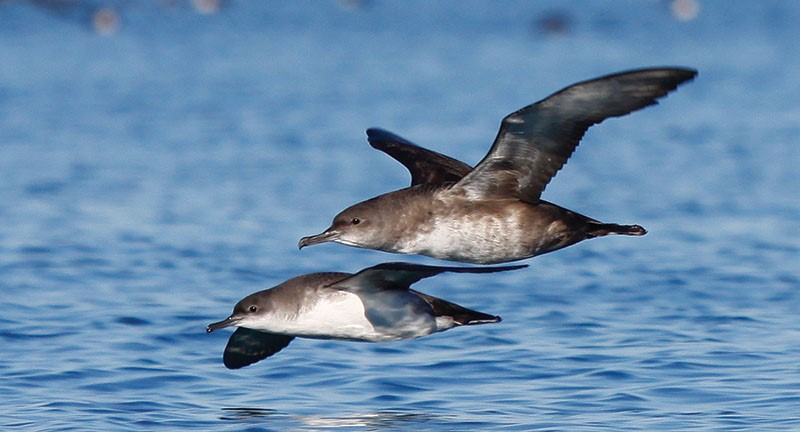 Balearic (above) and Yelkouan Shearwater (below)