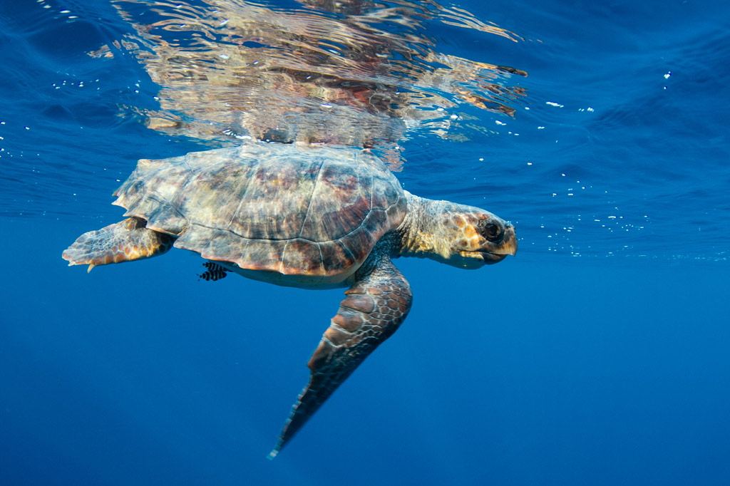 Ligurian Sea Turtle