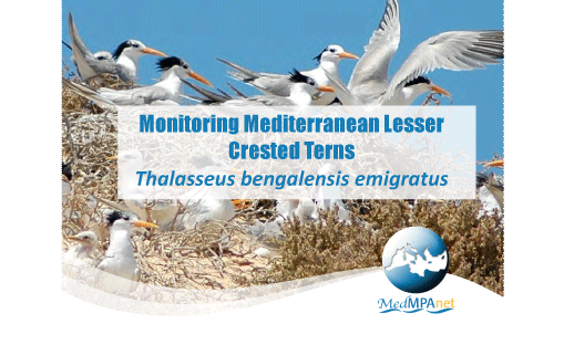 Monitoring Mediterranean Lesser Crested Terns