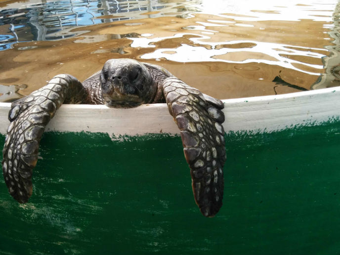 Nursing sea turtles back to health