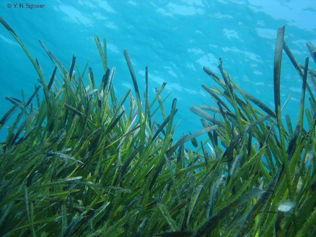Posidonia Meadow - By Yassine Ramizi Sghaier